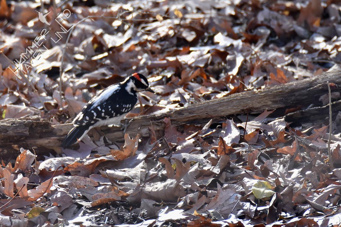 12-25-19 Hairy Woodpecker