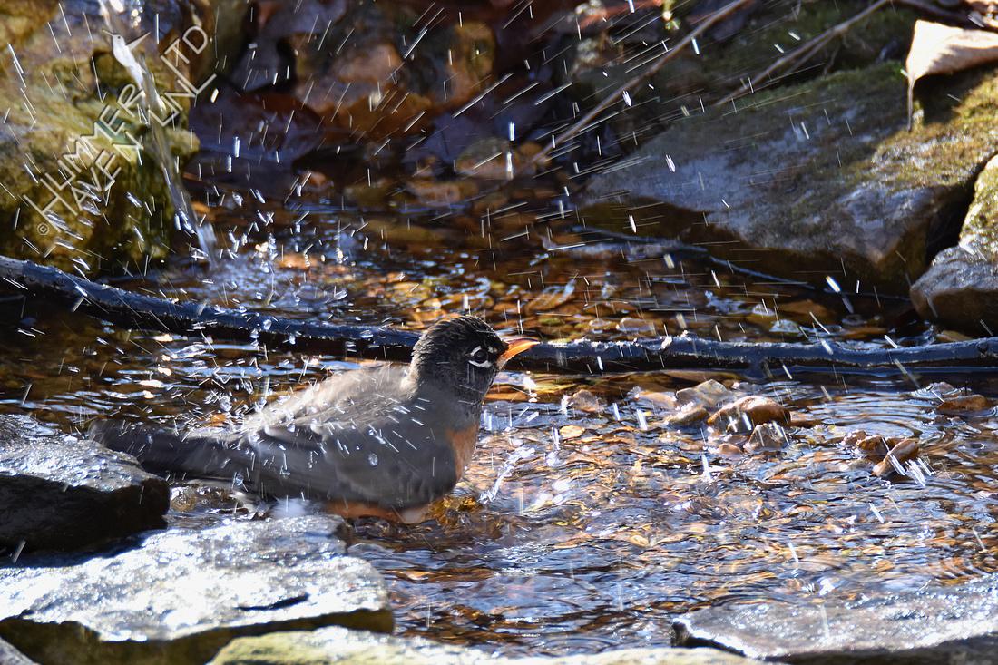 12-25-19 American Robin