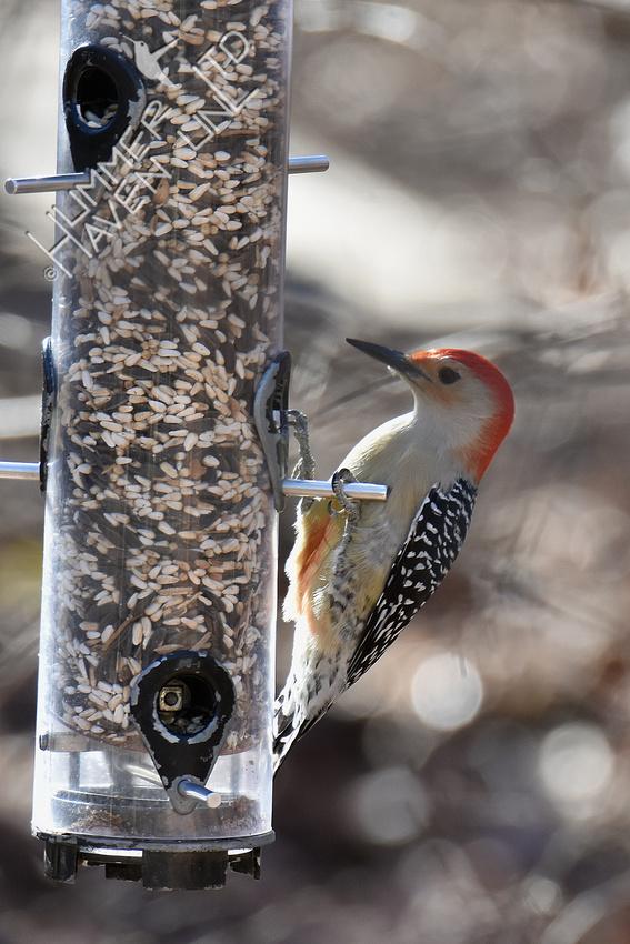 12-25-19 Red-bellied Woodpecker