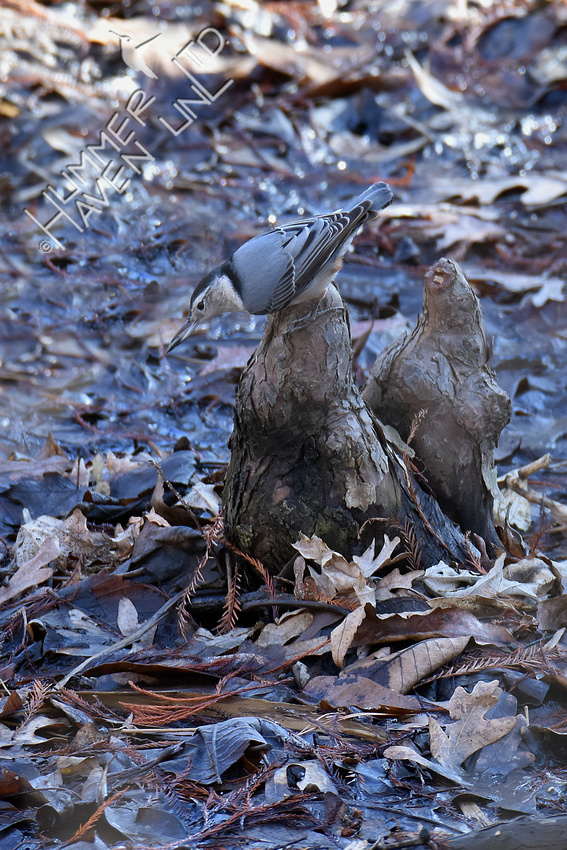 12-25-19 White-breasted Nuthatch caching seed on pond cypress knees
