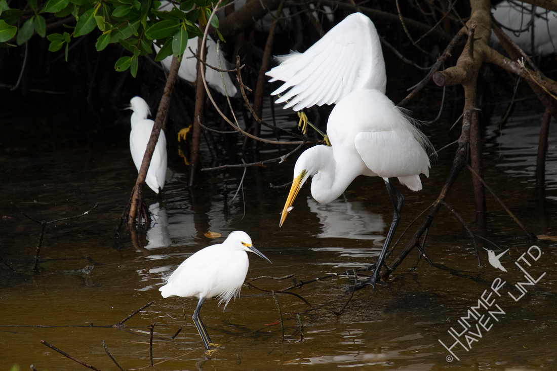 12-18-19 Great Egret and Snowy Egrets