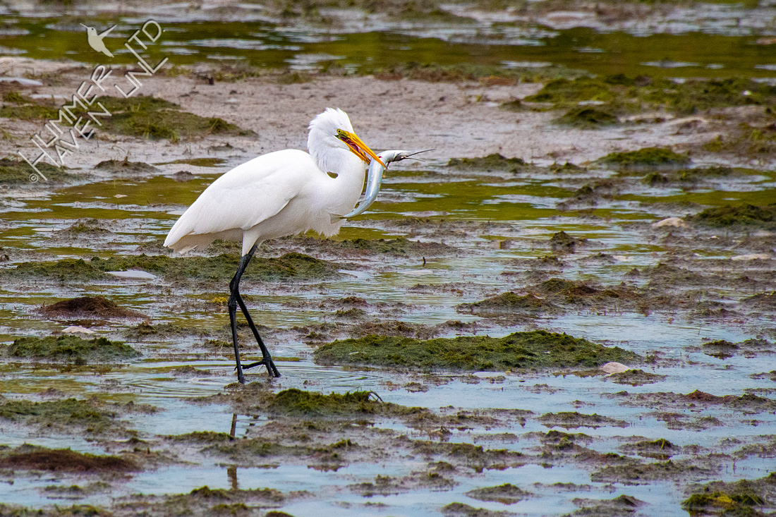12-19-19 Great Egret with fish