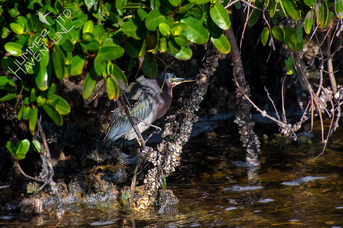 12-16-19 Green Heron
