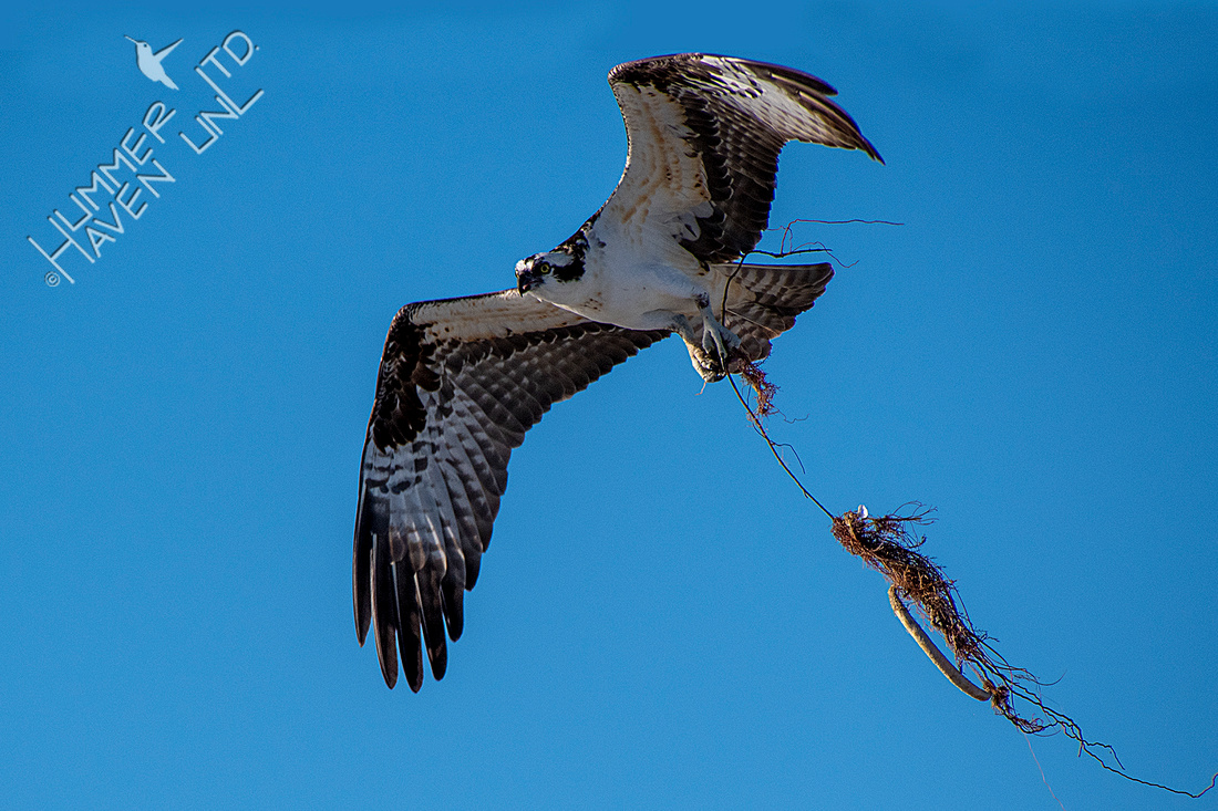 12-15-19 Osprey with nesting material