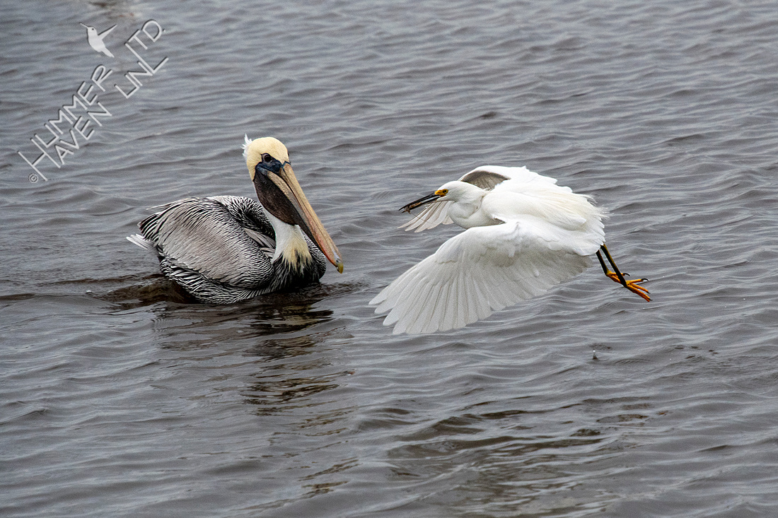 12-19-19 Brown Pelican and Snowy Egret with prey