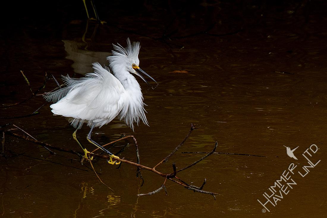 12-18-19 Snowy Egret in Mangroves
