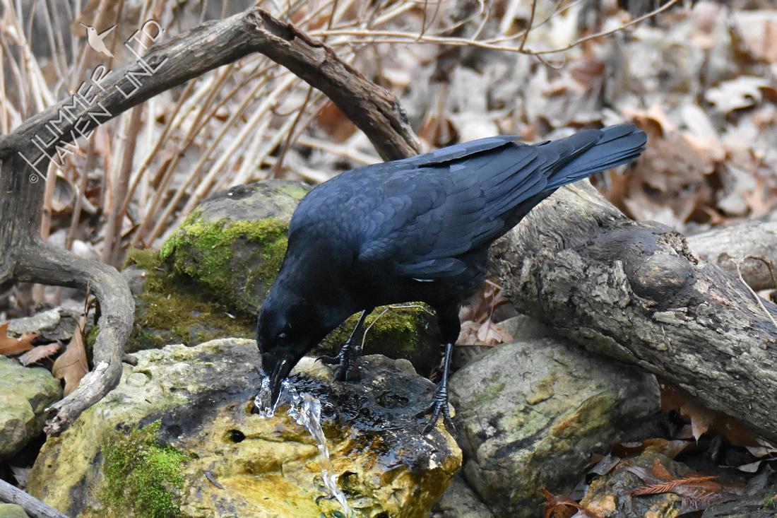 1-3-20 American Crow