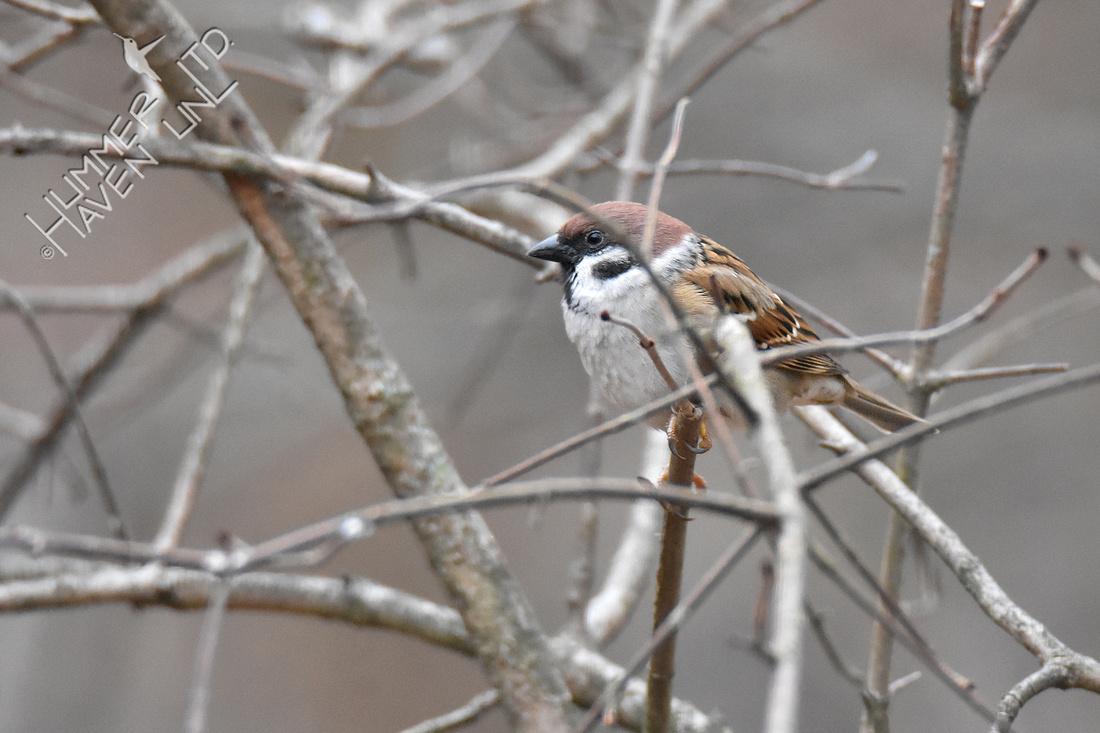1-4-20 Eurasian Tree Sparrow