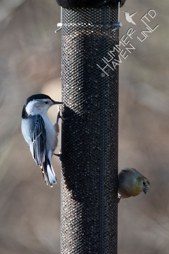 1-5-20 White-breasted Nuthatch and American Goldfinch