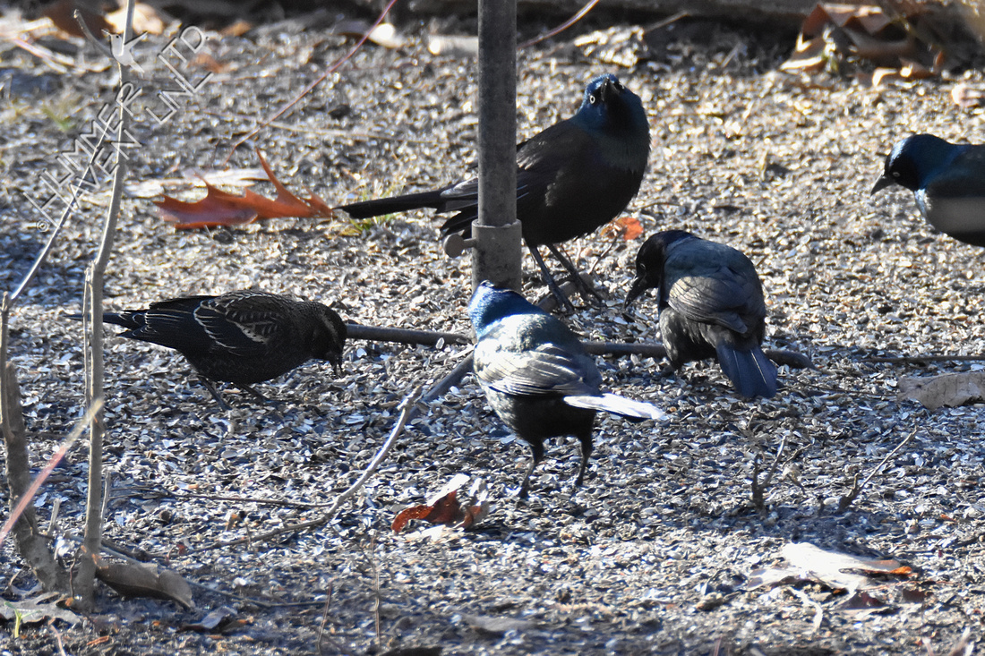 1-6-20 Red-winged Blackbird (left) and Common Grackles