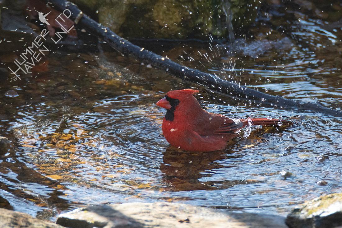 1-7-20 Northern Cardinal