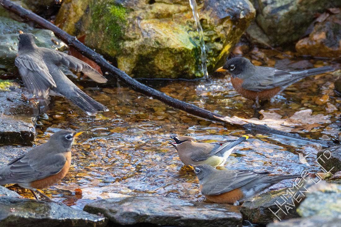 1-7-20 American Robins and Cedar Waxwing