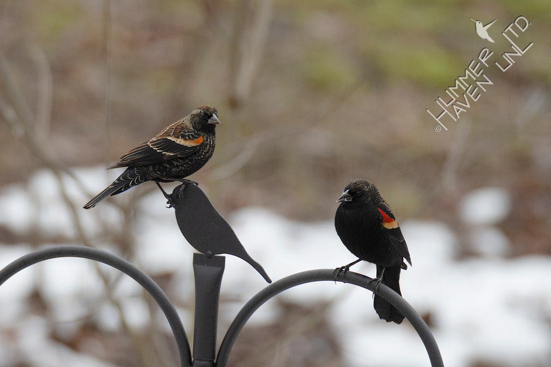 1-13-20 Red-winged Blackbirds