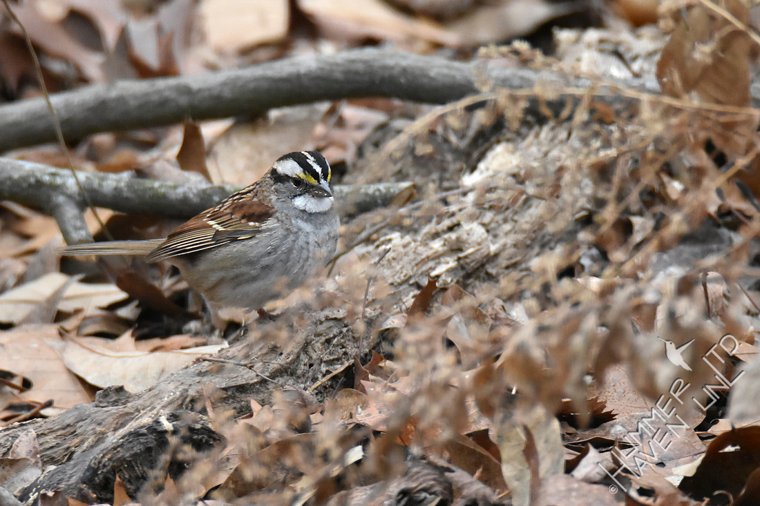 1-17-20 White-throated Sparrow