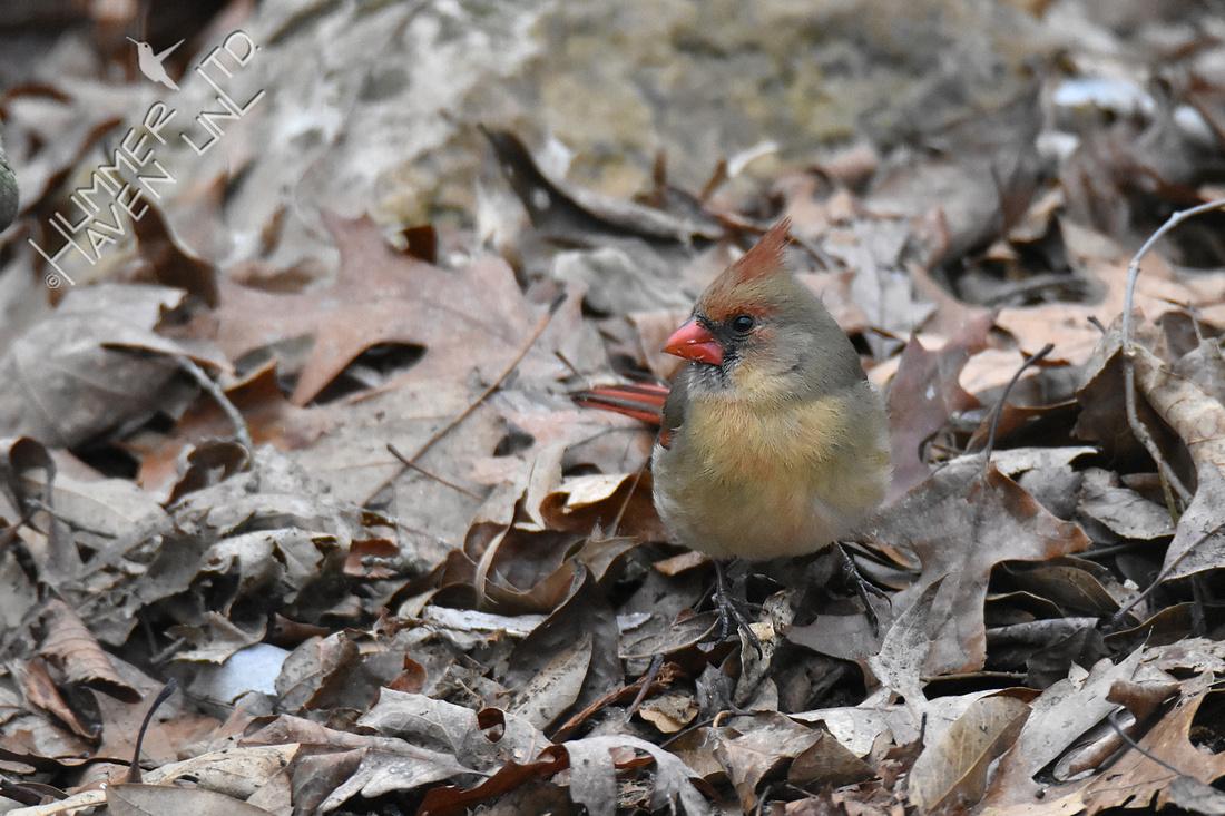 1-17-20 Northern Cardinal female