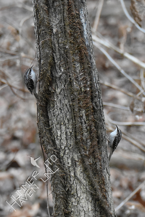 1-17-20 Two Brown Creepers