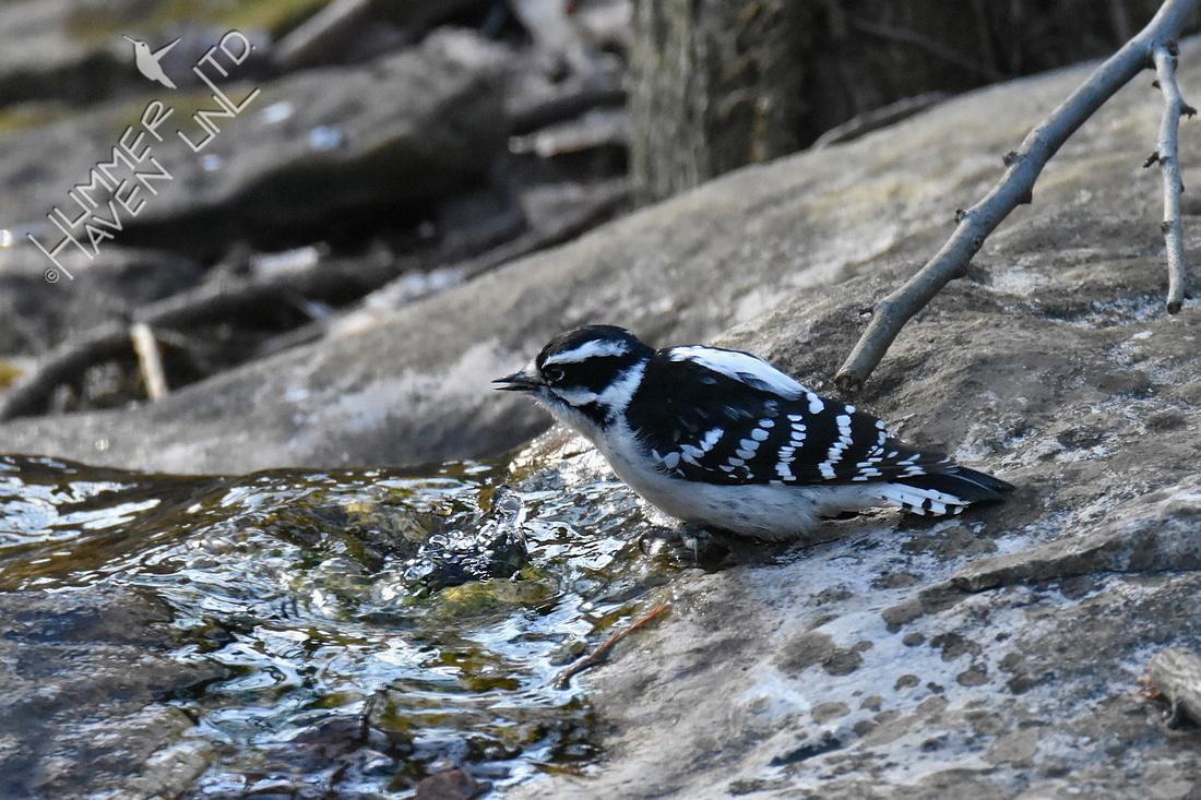 1-20-20 Downy Woodpecker drinks