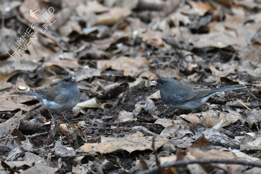 2-4-20 Dark-eyed Juncos