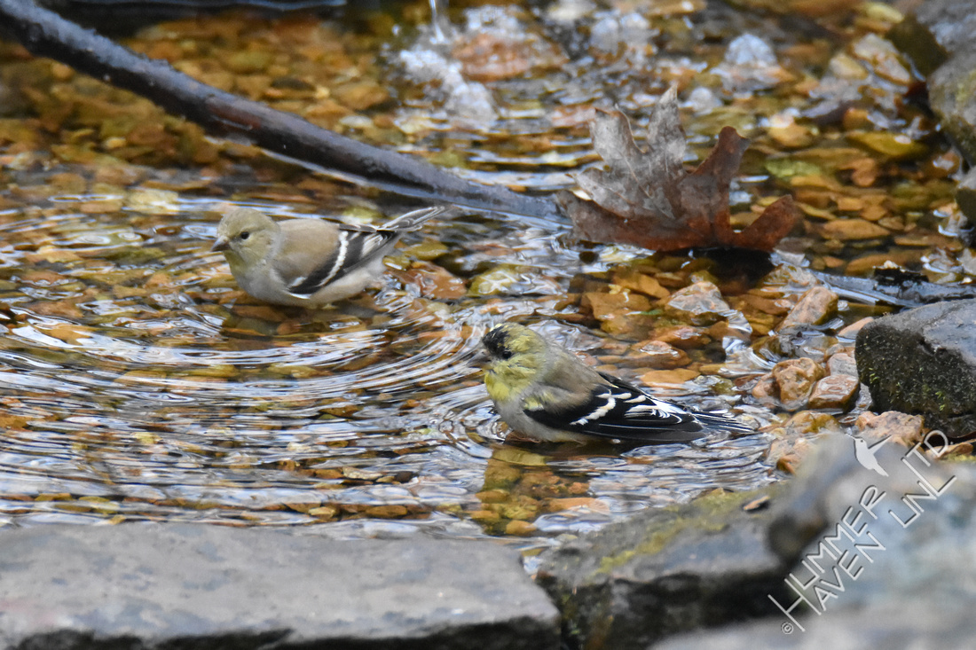 2-4-20 American Goldfinches
