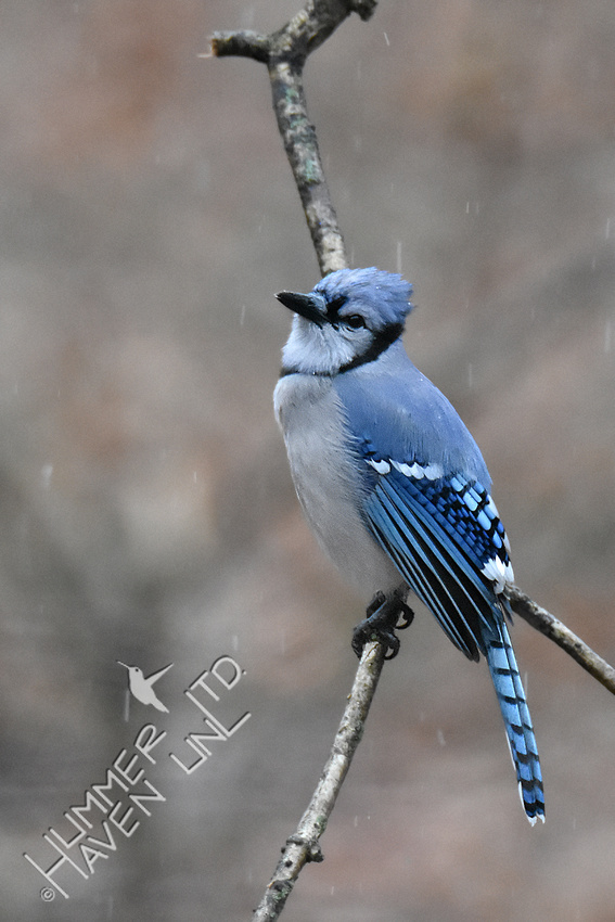 2-5-20 Blue Jay in sleet