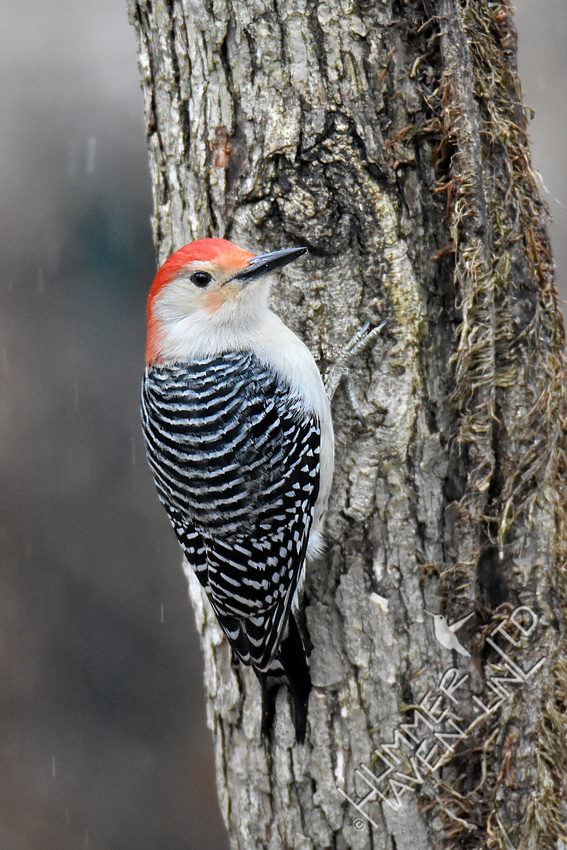 2-5-20 Red-bellied Woodpecker