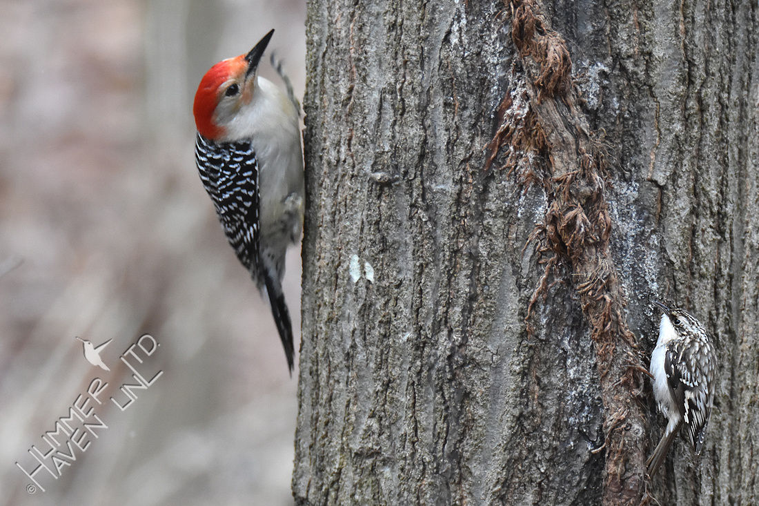 2-13-20 Red-bellied Woodpecker and Brown Creeper