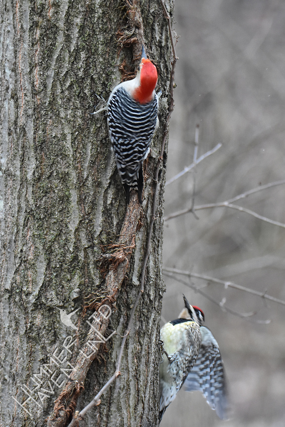 2-13-20 Red-bellied Woodpecker and Yellow-bellied Sapsucker female