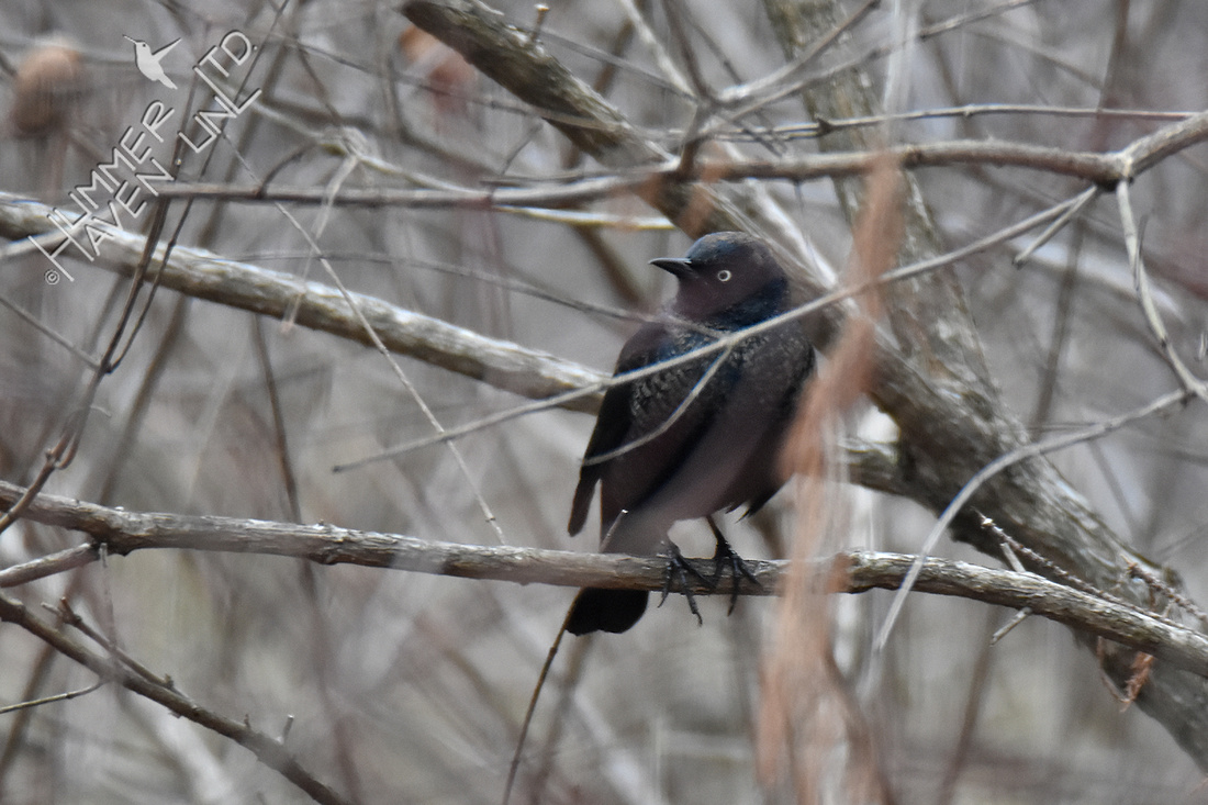 2-15-20  FOY 35 Rusty Blackbird in cover of Buttonbush (Cephalanthus occidentalis)