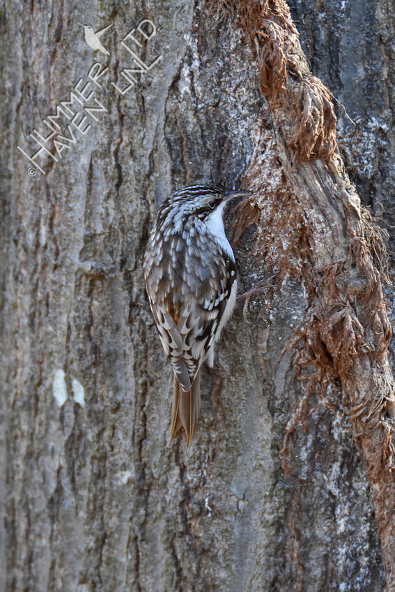 2-14-20 Brown Creeper