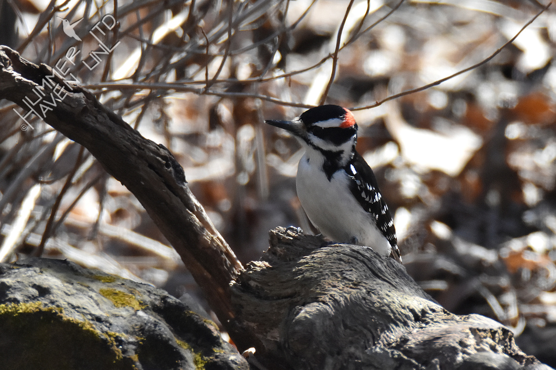 2-20-20 Hairy Woodpecker