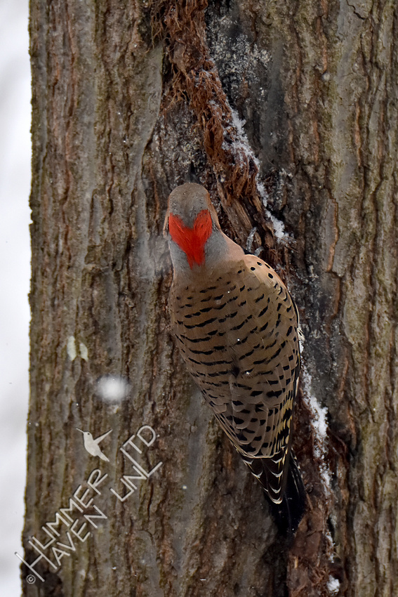 2-26-20 Northern Flicker