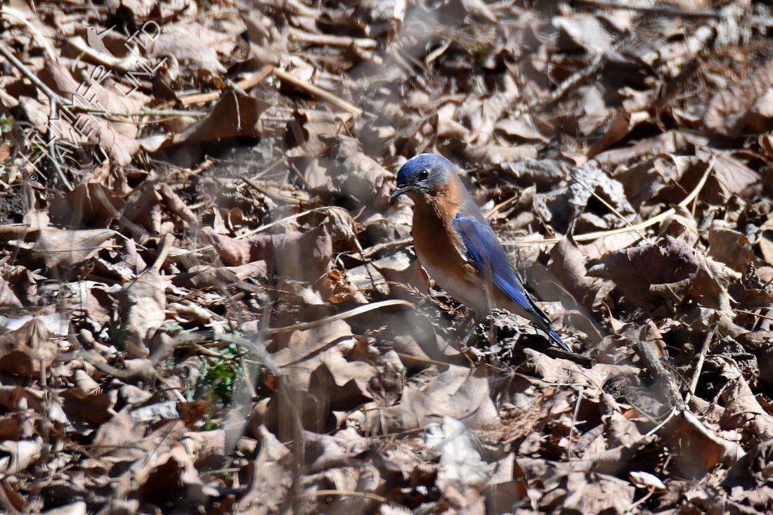 3-6-20 Eastern Bluebird