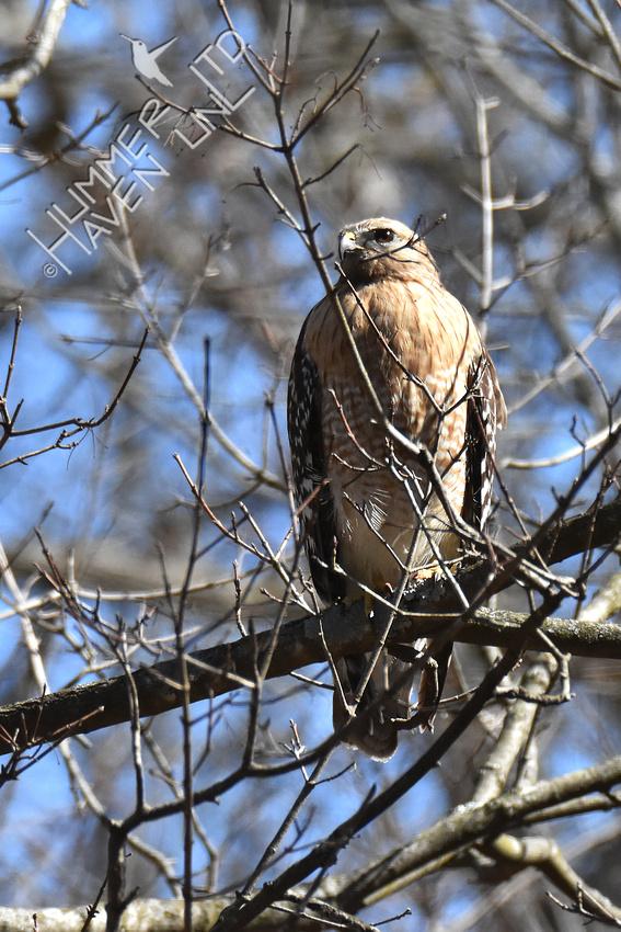 3-8-20 Red-shouldered Hawk female
