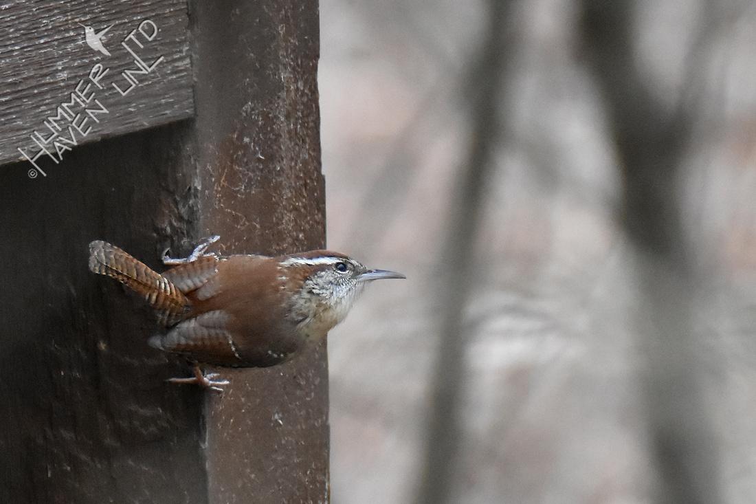 3-9-20 Carolina wren on the lookout