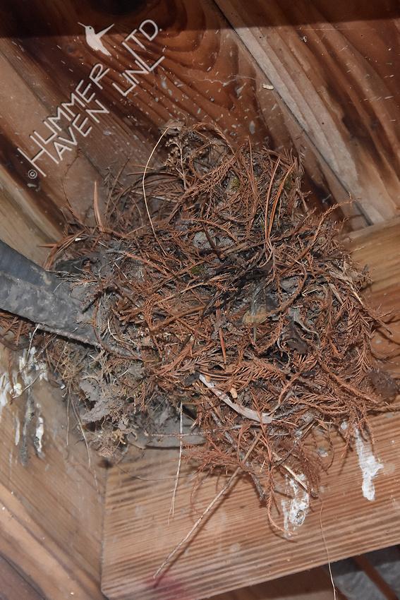 3-13-20 Carolina wren nest atop old Eastern Phoebe nest