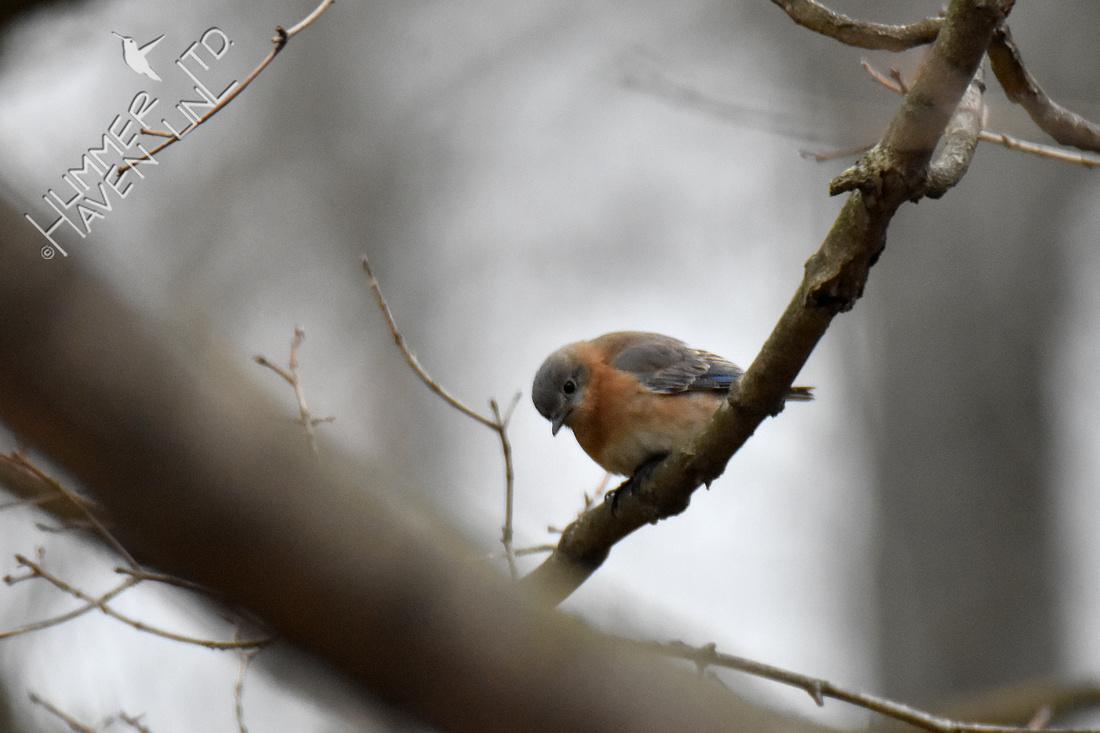 3-15-20 Eastern Bluebird female