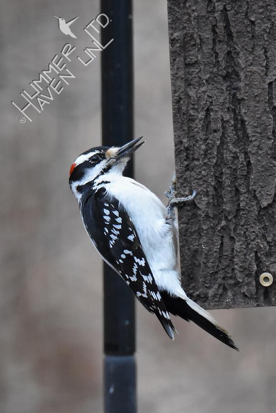 3-16-20 Hairy Woodpecker