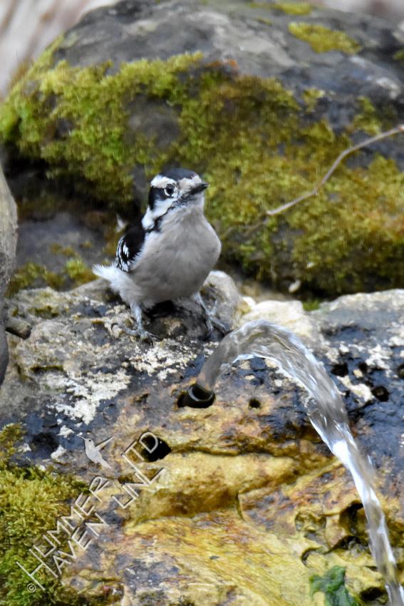 3-16-20 Downy Woodpecker