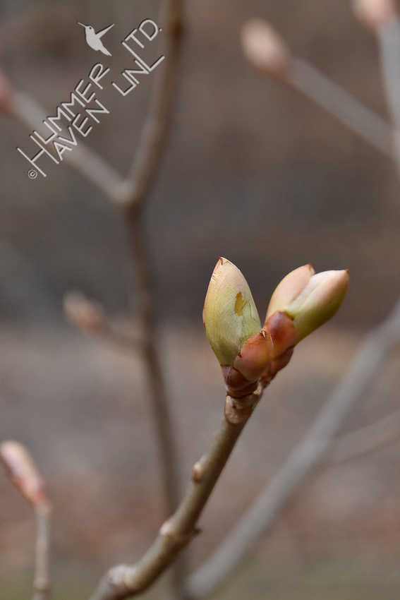 3-17-20 Red Buckeye (Aesculus pavia)