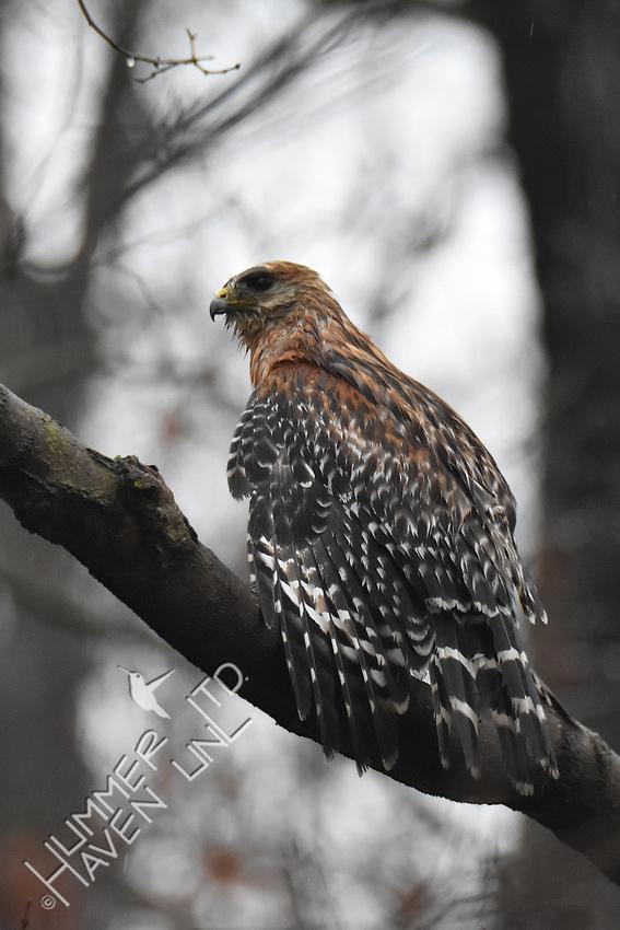3-19-20 Red-shouldered Hawk