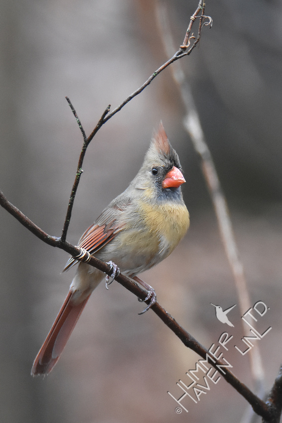 3-19-20 Northern Cardinal female
