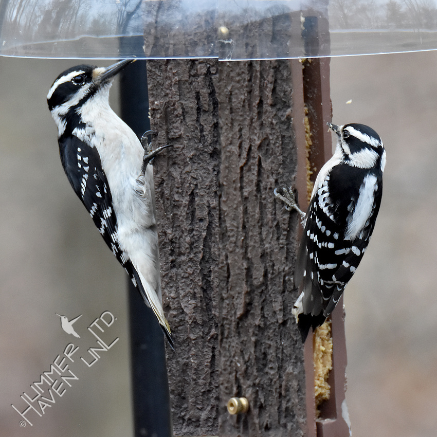 3-20-20 Hairy and Downy Woodpeckers - composite