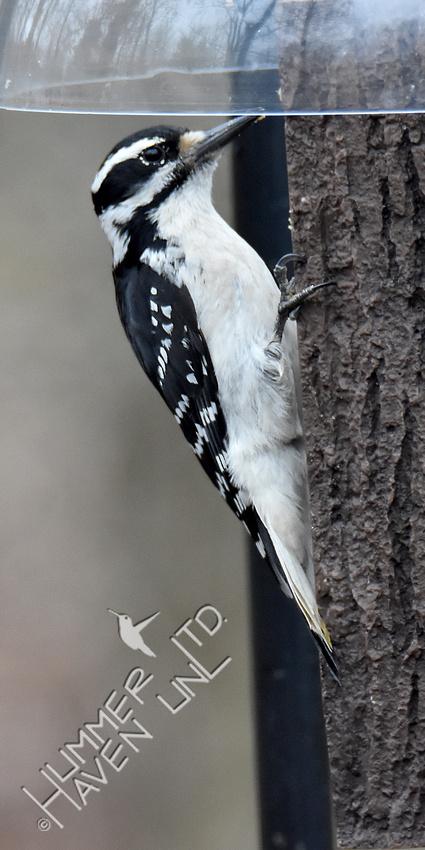 3-20-20 Hairy Woodpecker female