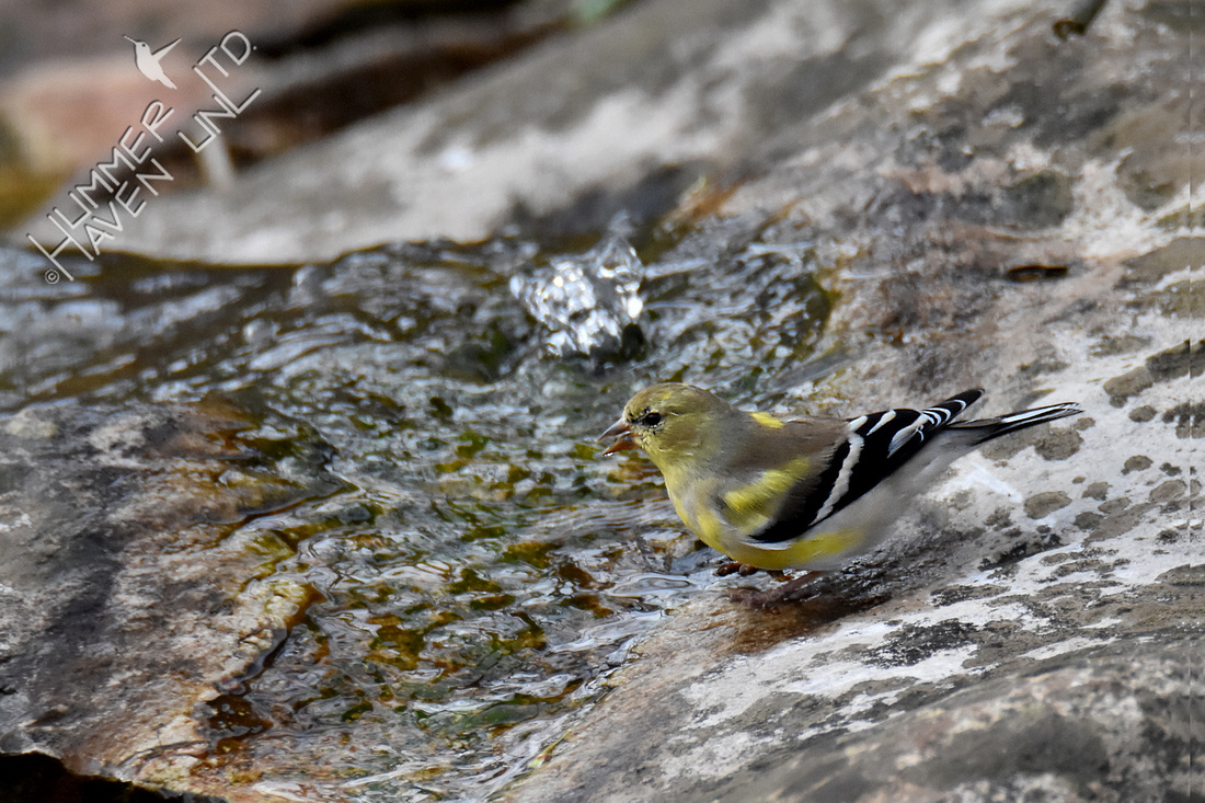 3-21-20 American Goldfinch
