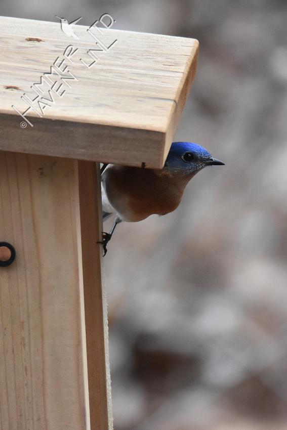 3-27-20 Eastern Bluebird