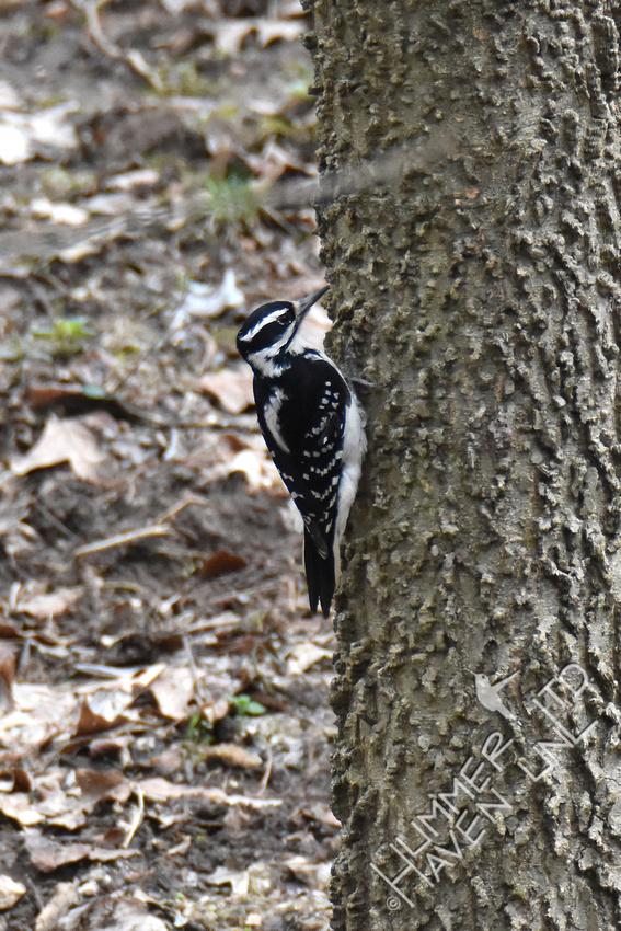 3-27-20 Hairy Woodpecker female on Hackberry (Celtis occidentalis)