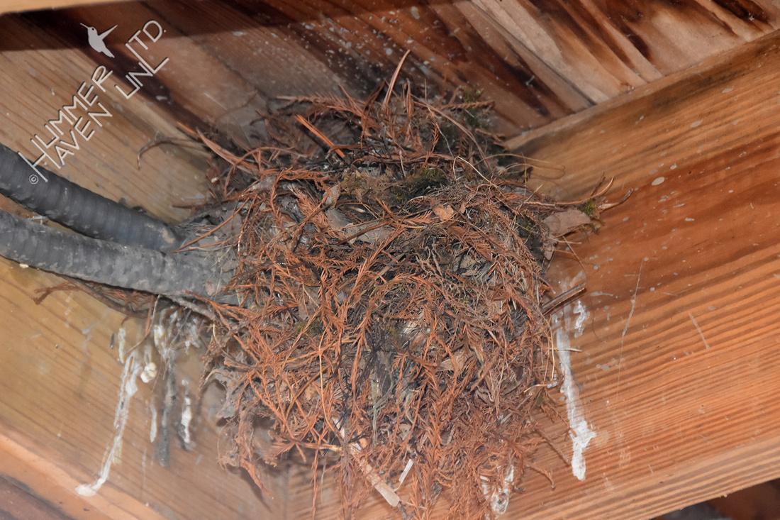 3-27-20 Eastern Phoebe nest #1