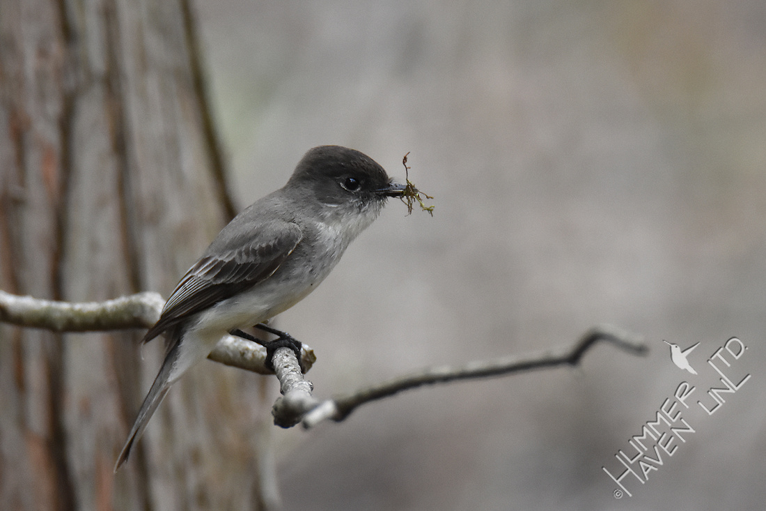 3-28-20 Eastern Phoebe with moss