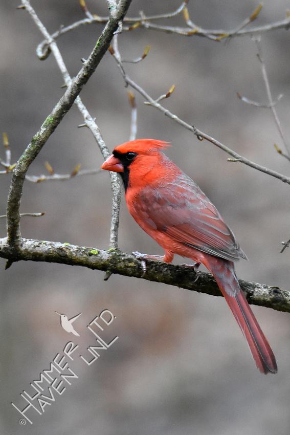 3-28-20 Northern Cardinal