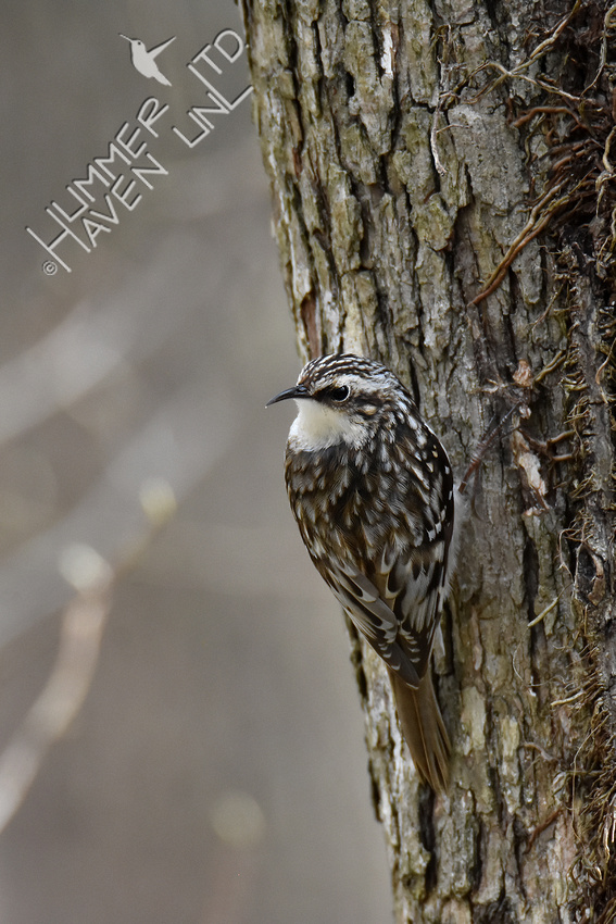 3-31-20 Brown Creeper